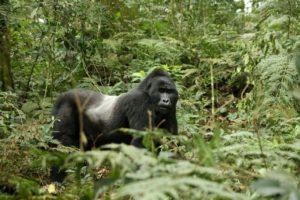 CTPH Gorilla