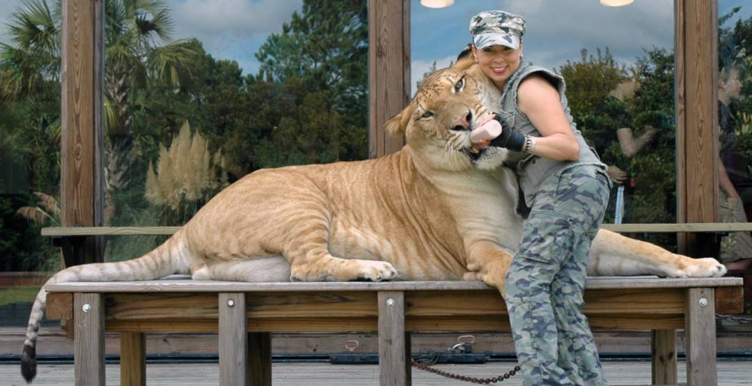 Hercules the Liger being fed milk from a baby bottle at Myrtle Beach Safari