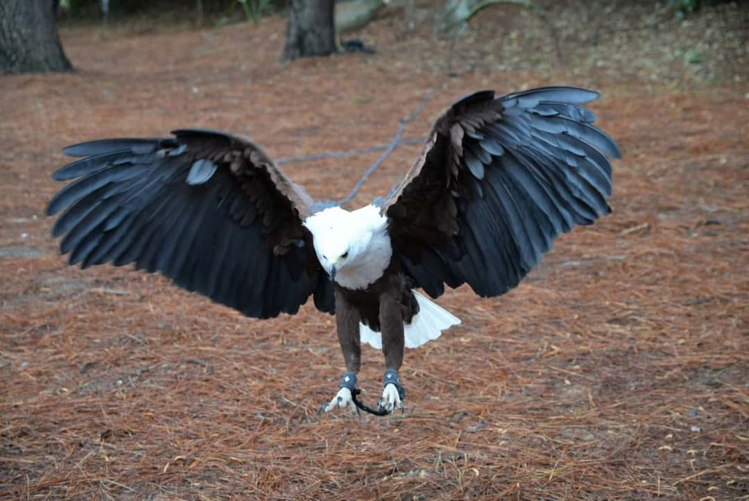 an African Fish eagle with wings spread at Myrtle Beach Safari