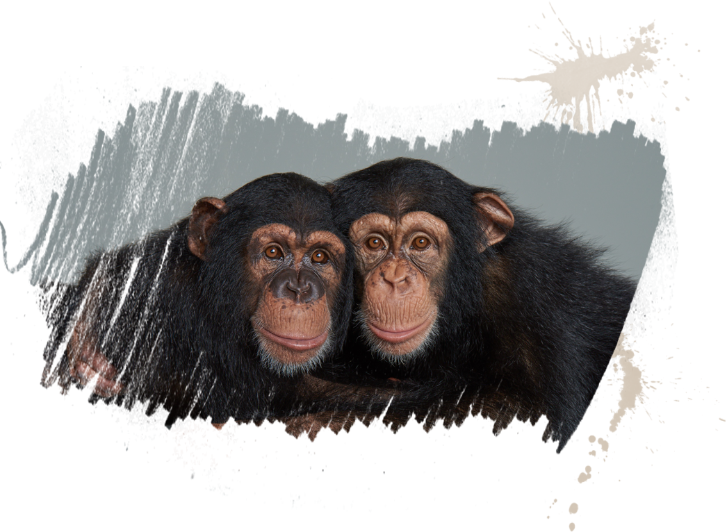 chimpanzees tigers
