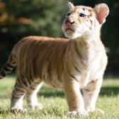 Tigers | Myrtle Beach Safari