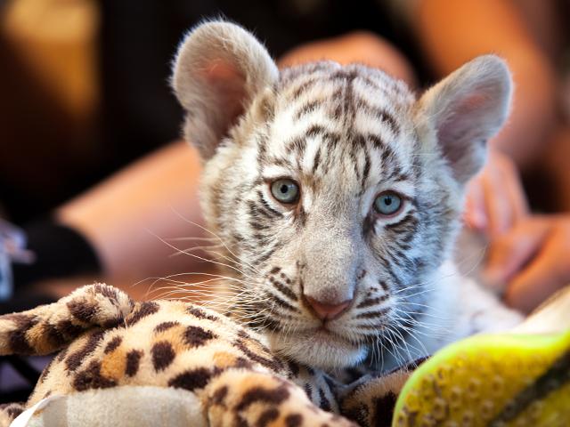 Blue eyed tiger cub
